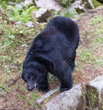 Black bear Stock Photos