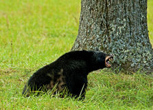 A Black Bear shows his teeth in Cades Cove. A Large Black Bear eats Black walnuts showing his teeth royalty free stock image