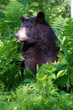 Black bear side portrait in vertical photograph Royalty Free Stock Photography