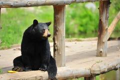 Black Bear sitting Stock Photography