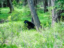 Black bear sitting in a forest, Banff National Park, Alberta, Canada. Black bear sitting against  tree in a wooded forest with grass and bushes Royalty Free Stock Photos