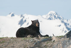 Black Bear. A black bear sitting down on rocks on a sun summer day Royalty Free Stock Image