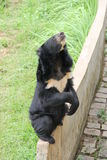 Black bear sitting on the fence. And looks Royalty Free Stock Photos