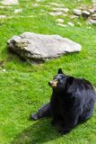 A black bear sitting in the grass at Grandfather Mountain. stock photography