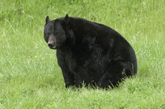 Black bear sitting on green grass and viewed form profile Stock Photo