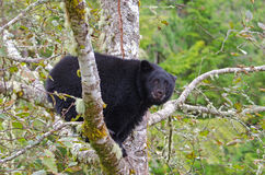 Black Bear sitting in a Rainforest Tree, Vanouver Island, Canada Royalty Free Stock Photography