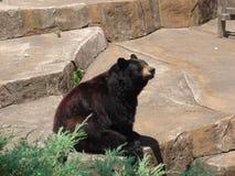 Black Bear. Sitting Black Bear at Roger Williams Zoo Royalty Free Stock Image