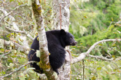 A Black Bear sitting in a tree, Vanouver Island, Canada Stock Images