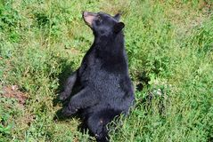 Black Bear Sitting Up. Something has captured this black bear's attention. He is sitting up to get a better look Stock Image