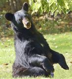Black Bear Sitting Up. Female American BlackBear ( Ursus americanus) sits with paws raised Royalty Free Stock Photography