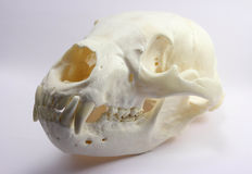 Black Bear Skull. Cleaned and preserved original Royalty Free Stock Images