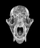 Black Bear Skull Royalty Free Stock Photography