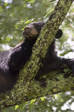 Black Bear Sleeoing in Tree. A black bear sleeping in a tree in the Smoky Mountains, Cades Cove Royalty Free Stock Photos