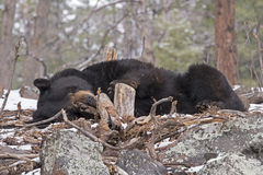 Black Bear Sleeping Royalty Free Stock Photography