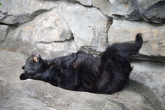 Black Bear Sleeping Royalty Free Stock Photos