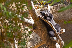 Black Bear Sleeping In Tree Stock Photography