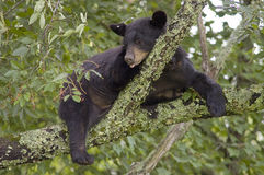 Black Bear Sleeping in Tree Royalty Free Stock Images