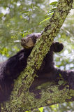 Black Bear Sleeping in Tree Stock Image
