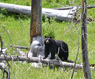 Black bear in the snags Royalty Free Stock Photo