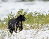 Black Bear in snow Royalty Free Stock Image