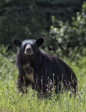 Black bear sow Royalty Free Stock Photo