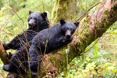 Black bear sow and cub Royalty Free Stock Image