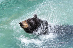 Black Bear Splashing Royalty Free Stock Photo