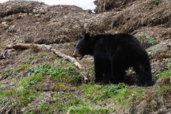 Black bear in spring Stock Images