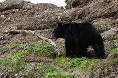 Black bear in spring stock images