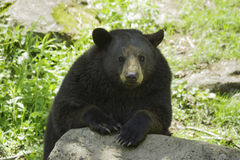Black Bear in the spring Royalty Free Stock Images