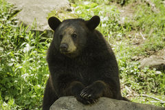 Black Bear in the spring Stock Image
