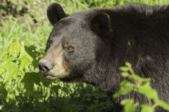 Black Bear in the spring Stock Photo