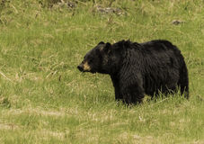 Black bear stand on the green grass at Yellowstone National park Royalty Free Stock Photography