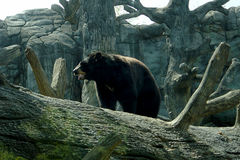 Black bear. Standing behind a giant log Royalty Free Stock Photography