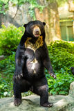 Black bear standing Natural green background. At looking camera Stock Photography