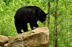 Black bear standing on a rock. Stock Image