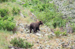 Black Bear. A black bear standing on the side of a mountain Royalty Free Stock Photos