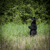 Black Bear Standing Stock Photos