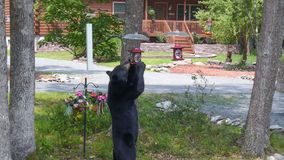Black Bear Standing to Eat From a Bird Feeder. This nuisance bear visits my home in the Poconos, Pennsylvania often while looking for food. He stood to look at a stock photos