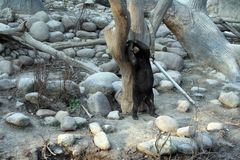 Black bear standing on two feet against tree with arms over its head.  Stock Images