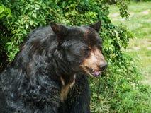 Black Bear Study Stock Photography