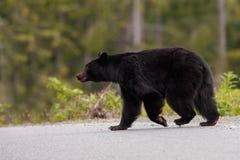 Black Bear. Taken at Canada Royalty Free Stock Image