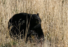 Black Bear in tan grass. This image is of a black bear with tan tall grasses that are silhouetted against the bear's black fur Stock Images