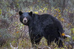 Black Bear in the Tetons Royalty Free Stock Photo