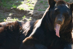 Black Bear Tongue Royalty Free Stock Photography