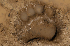 Black Bear Track. The track of a black bear's front foot in deep mud in a forest in California Royalty Free Stock Image
