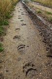 Black Bear Tracks royalty free stock photography