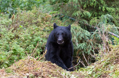 Black bear on trail Royalty Free Stock Photography