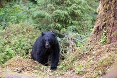 Black bear on trail Stock Photography