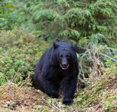 Black bear on trail Royalty Free Stock Photo